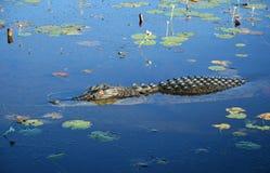 Coccodrillo dell'acqua salata Fotografia Stock Libera da Diritti