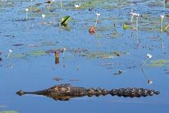 Coccodrillo dell'acqua salata Immagine Stock