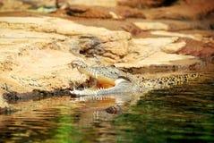 Coccodrillo dell'acqua salata Fotografia Stock