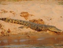 Coccodrillo dello Zambesi immagine stock
