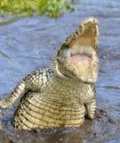 Coccodrillo di attacco Coccodrillo cubano (crocodylus rhombifer) Fotografie Stock