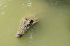 Coccodrillo di caimano Fotografia Stock