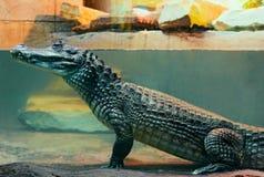 Coccodrillo di caimano in acqua Fotografia Stock Libera da Diritti