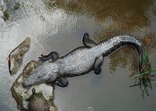 Coccodrillo e tartaruga Fotografie Stock Libere da Diritti