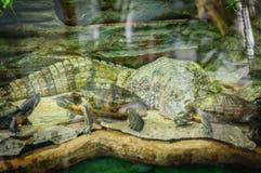 Coccodrillo e tartarughe del rettile dietro vetro in zoo Fotografie Stock