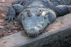 Coccodrillo enorme che si trova sulla terra Fotografia Stock Libera da Diritti