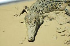 Coccodrillo in fango. Immagine Stock