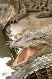 Coccodrillo feroce Fotografie Stock Libere da Diritti