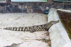 coccodrillo Grandi coccodrilli d'acqua dolce in Tailandia Fotografia Stock Libera da Diritti