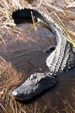 Coccodrillo nei terreni paludosi Immagini Stock