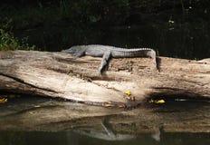 Coccodrillo nel parco nazionale di Khao Yai Immagini Stock Libere da Diritti