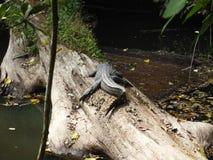 Coccodrillo nel parco nazionale di Khao Yai, Tailandia Immagini Stock