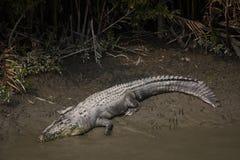 Coccodrillo nel parco nazionale di Sundarbans nel Bangladesh immagini stock libere da diritti