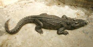 Coccodrillo o alligatore Immagine Stock Libera da Diritti