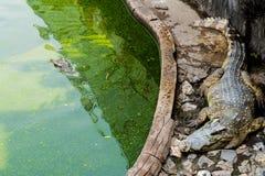 Coccodrillo o alligatore che cammina sulla terra e nell'acqua sporca Fotografia Stock Libera da Diritti
