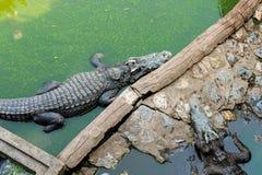 Coccodrillo o alligatore che cammina sulla terra e nell'acqua sporca FO Immagini Stock Libere da Diritti