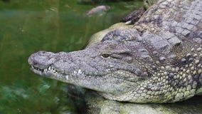 Coccodrillo pericoloso che bighellona da un fiume di acqua verde, dettaglio approssimativo della pelle stock footage