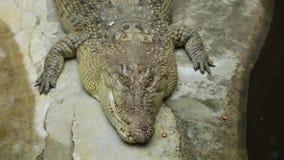 Coccodrillo pericoloso che prende il sole allo zoo stock footage