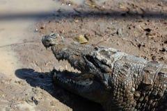 Coccodrillo sacro, Burkina Faso fotografia stock libera da diritti