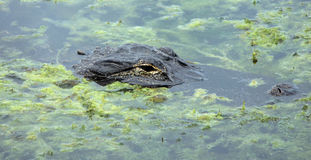 Coccodrillo sommerso in lago Immagini Stock Libere da Diritti