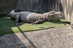 Coccodrillo in sorgente di acqua calda dell'inferno del coccodrillo di Oniyama Jigoku a Beppu, Oita, Giappone fotografia stock libera da diritti