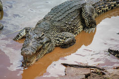 Coccodrillo sorridente nell'acqua Fotografie Stock