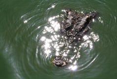 Coccodrillo sotto acqua Immagine Stock Libera da Diritti