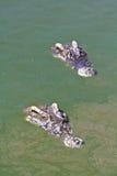 Coccodrillo sotto acqua Fotografia Stock Libera da Diritti