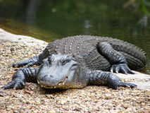 Coccodrillo sul prowl fotografie stock