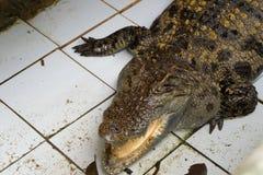 Coccodrillo in Tailandia immagini stock
