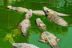 Coccodrillo in Tailandia Immagine Stock Libera da Diritti