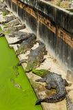 Coccodrillo in Tailandia Fotografie Stock Libere da Diritti