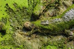 Coccodrillo in Tailandia Fotografia Stock