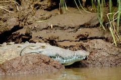 Coccodrillo verde lungo la banca in fiume in Puntarenas Immagini Stock Libere da Diritti