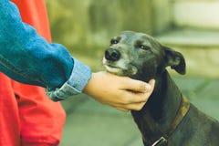 Coccole femminili della mano un cane B Fotografia Stock