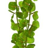 Coccoloba träd royaltyfri bild