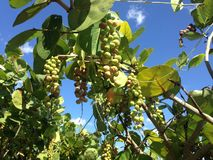 Coccoloba Uvifera frukt i Miami royaltyfria foton