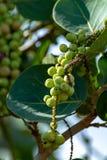 Coccoloba uvifera tropikalna roślina z owoc, denna gronowa roślina zamknięta w górę obrazy stock