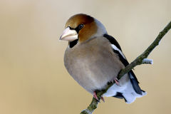 Coccothraustes coccothraustes Royalty Free Stock Photo