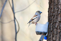 Coccothraustes coccothraustes, Hawfinch Royalty-vrije Stock Fotografie