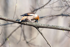Coccothraustes coccothraustes, Hawfinch Royalty-vrije Stock Foto