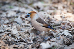 Coccothraustes coccothraustes, Hawfinch. Stock Image