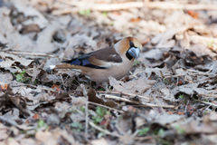 Coccothraustes coccothraustes, Hawfinch. Royalty Free Stock Photo