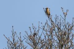 Coccothraustes del Coccothraustes del pájaro Imágenes de archivo libres de regalías