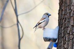 Coccothraustes del Coccothraustes, Hawfinch Fotografia Stock Libera da Diritti