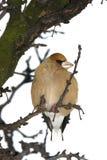 coccothraustes hawfinch Στοκ φωτογραφίες με δικαίωμα ελεύθερης χρήσης