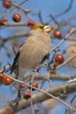coccothraustes hawfinch Στοκ Φωτογραφίες