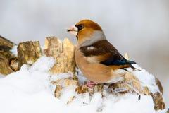 Coccothraustes maschio del Hawfinch su un ramo nell'inverno Fotografia Stock Libera da Diritti
