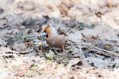 Coccothraustescoccothraustes, Hawfinch Arkivfoto