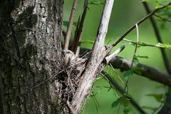 Coccothraustescoccothraustes, Hawfinch Arkivfoton